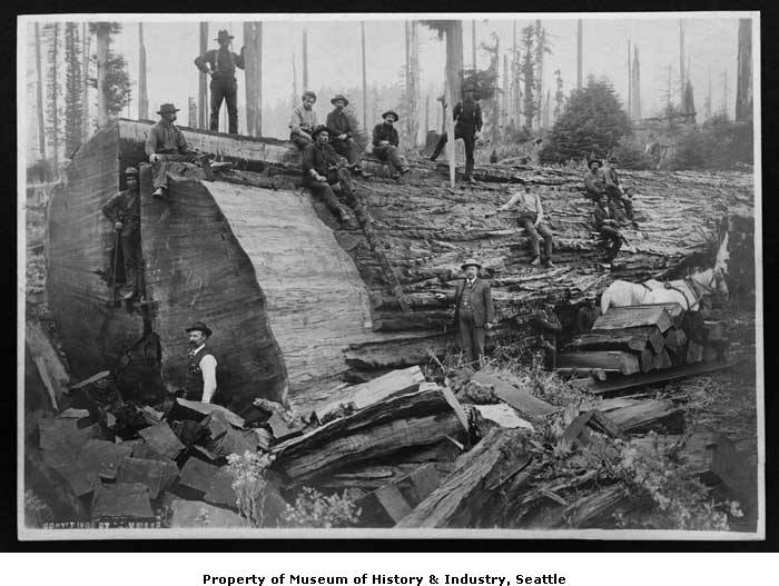 Big_log_at_Monroe_Logging_Company_Carnation_ca_1905